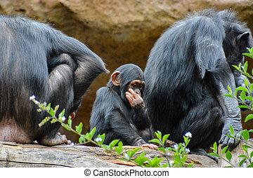 pattedyr, sort, chimpanse, ape