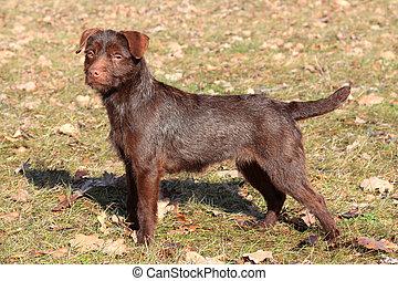 Patterdale Terrier dog in a autumn garden
