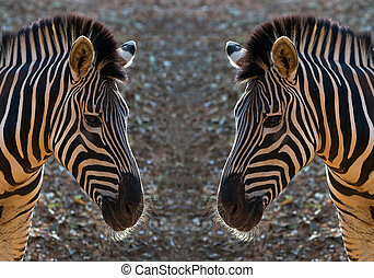Pattern and skin of Zebra.