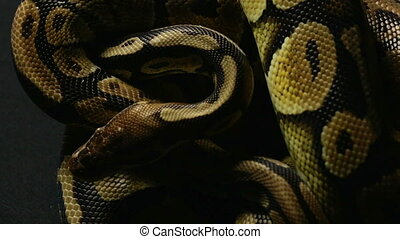 Pattern of ball python's snakeskin - Footage of royal ball...