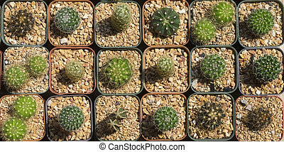 Pattern of cactus in top view