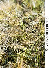 pattern of corn field in detail