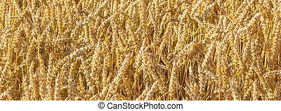 pattern of golden field - golden field in beautiful light