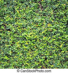 Pattern of green ivy on the wall, background and texture