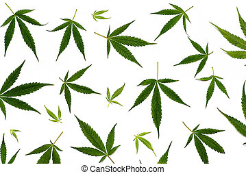 Pattern of marijuana leaves on white background