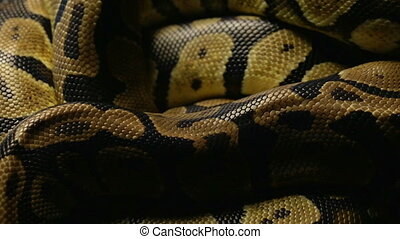 Pattern of python's snakeskin - Footage of royal ball python...