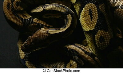 Pattern of royal ball python's snakeskin - Footage of royal...