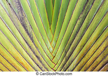 Closeup Pattern of traveller's palm tree(Ravenala Madagascariensis)