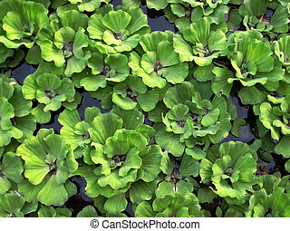 Water Cabbage on the water - Pattern of Water Cabbage on the...