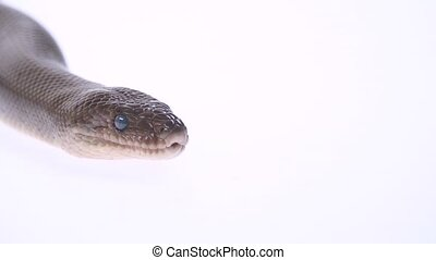 Patternless Columbian Rainbow Boa or Epicrates cenchria ...
