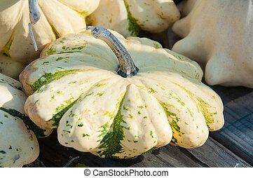 Pattypan squash white and green with scalloped edges. Harvest vegetable classic for fall and autumn meals and decor.