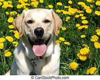 golden retriever/labrador-mix in a field of dandelions