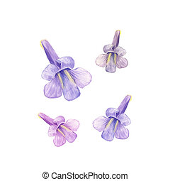 Paulownia kawakamii flower in a watercolor style isolated. For background, texture, wrapper pattern, frame or border