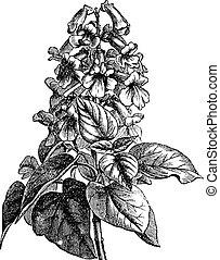 Paulownia or Paulownia sp., vintage engraving