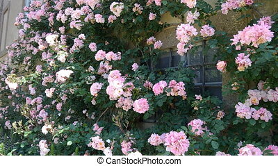 Paul's Himalayan Musk Rose, one of the best and most beautiful rambling roses.