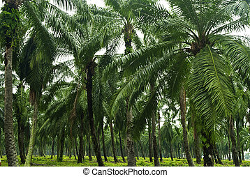 paume, plantation., huile