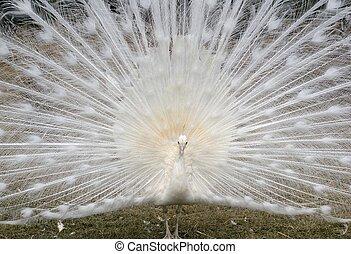 pavão branco, exibindo, seu, beauti