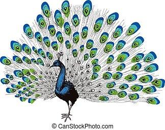 pavão, desenho, mão