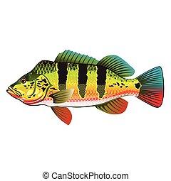 pavão, luminoso, gamefish, baixo, oceânicos