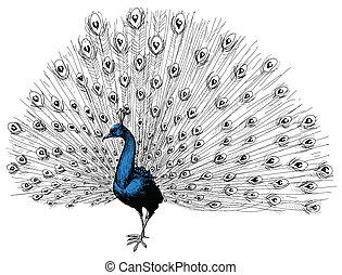 pavão, mão, desenho, isolado
