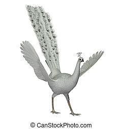 pavão, macho, branca