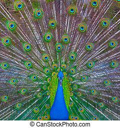 pavão, mostrando, desligado