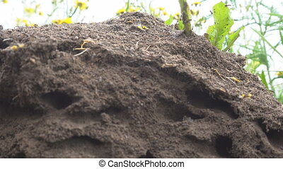 Possible Pavement ant or Formica pressilabris built bulk anthill in the middle of a meadow of soil and pieces of plants. Slice anthill with tunnels. Estonian
