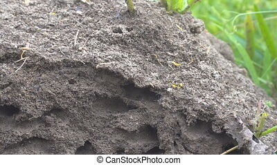 Possible Pavement ant or Formica pressilabris built an bulk anthill in the middle of a meadow of soil and pieces of plants. Slice anthill with tunnels. Estonian