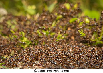 Pavement Ant Hill - Huge pile of pesky sidewalk ants in...