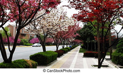 pavement with cherry blossom 3 - pavement with red maple...
