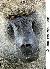 pavian, -, tansania, afrikas