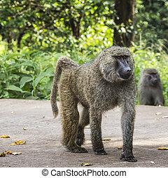pavian, -, tarangire nationalpark, -, naturreserve, in, tansania