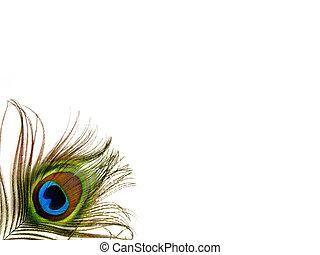 pavo real, solo, pluma