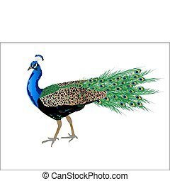 pavo real, vector