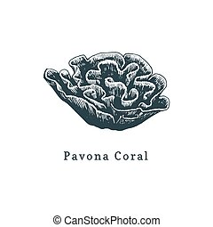 Pavona coral vector illustration.Drawing of sea polyp on...