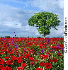 pavot, beau, printemps, rouges, clair, fleurs, pré