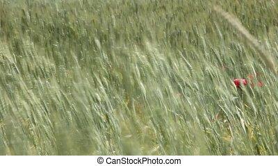 pavot, blé, fleurs, champ