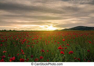 pavot, champ coucher soleil
