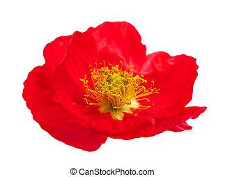 pavot, fleur