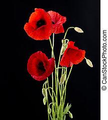 pavot, fleur, noir, isolé, rouges