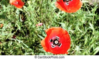 pavot, fleurs, champ
