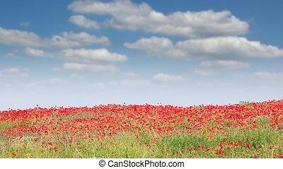 pavot, fleurs, ciel bleu, champ