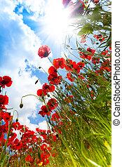 pavot, fleurs, ciel, rouges