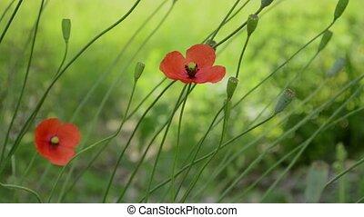pavot, fleurs, deux, vent
