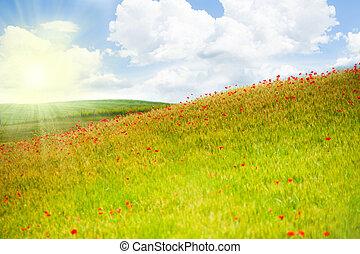 pavot, fleurs, italie, champ, rouges