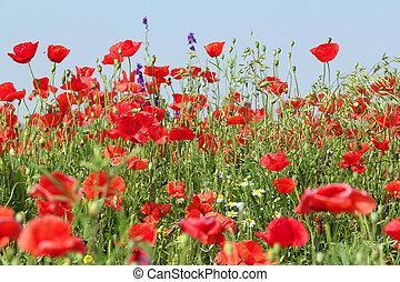 pavot, fleurs, pré