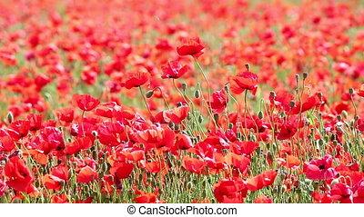 pavot, fleurs, rouges, champ