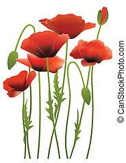 pavot, fleurs, rouges