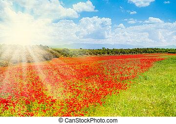 pavot, fleurs, rouges, matin