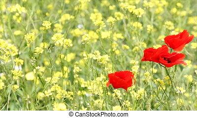 pavot, fleurs